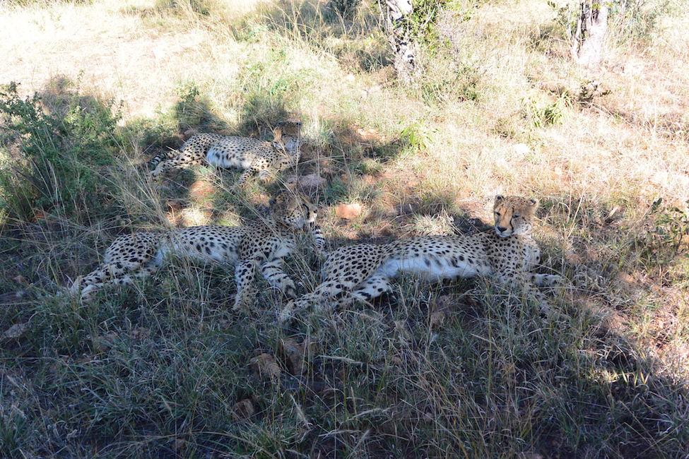 Zuid-Afrika bucketlist: het luipaard van de Big Five spotten